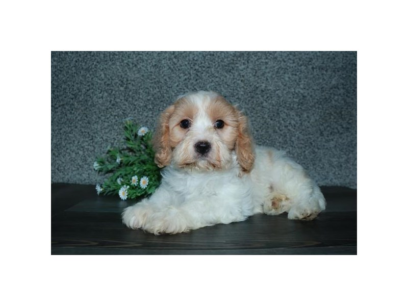 Cavachon-Female-Cream / White-2776695-The Barking Boutique