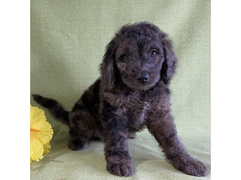F1B Mini Bernedoodle-Male-Chocolate Merle-2776737-The Barking Boutique
