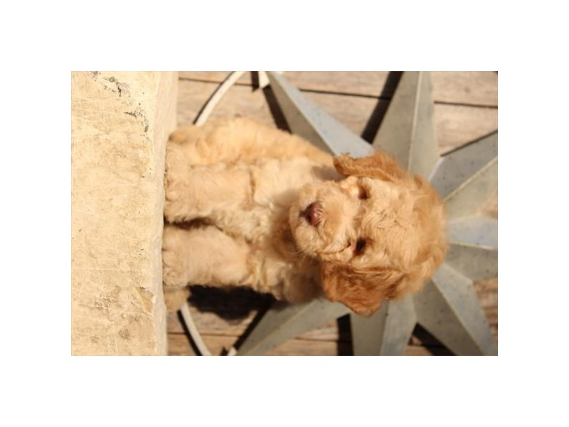 F1B Goldendoodle-Female-Apricot-2776738-The Barking Boutique