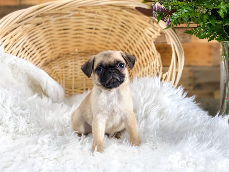 Pug-Male-Fawn-2776679-The Barking Boutique