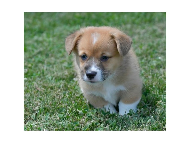 Pembroke Welsh Corgi-Male-Red / White-2784927-The Barking Boutique