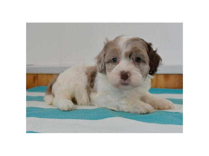 Cockapoo/Havanese – Orion