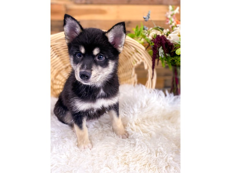 Pomsky-Male-Black-2758148-The Barking Boutique