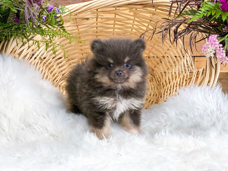 Pomeranian-Male-Blue-2765784-The Barking Boutique