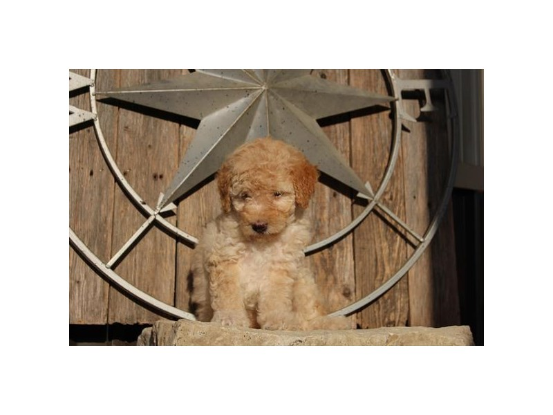 Goldendoodle Mini 2nd Gen-Female-Tan-2769222-The Barking Boutique