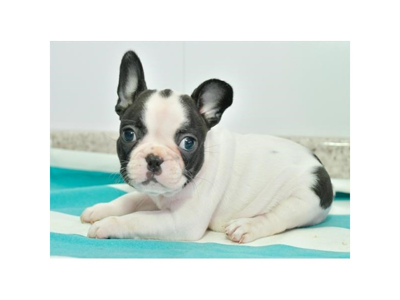 French Bulldog-Female-White-2776687-The Barking Boutique