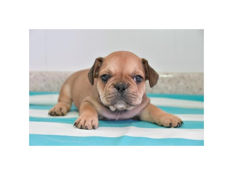 French Bulldog-Male-Brindle-2776688-The Barking Boutique