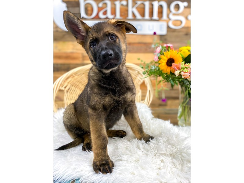 German Shepherd-Male-Blk Sable-2781414-The Barking Boutique