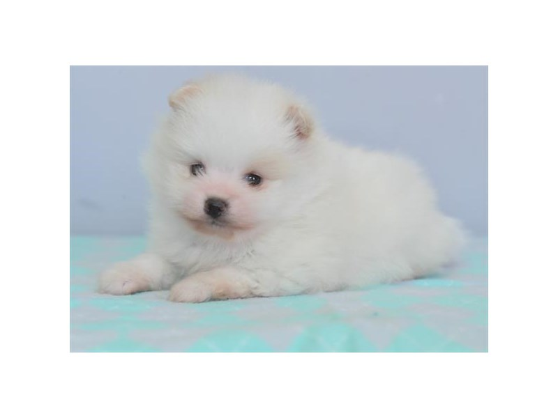 Pomeranian-Male-White / Cream-2784928-The Barking Boutique