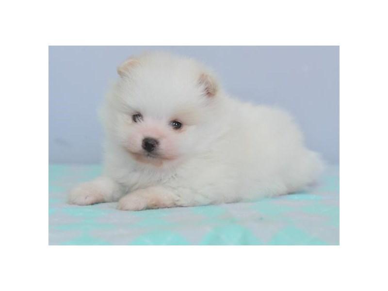 Pomeranian – Pluto