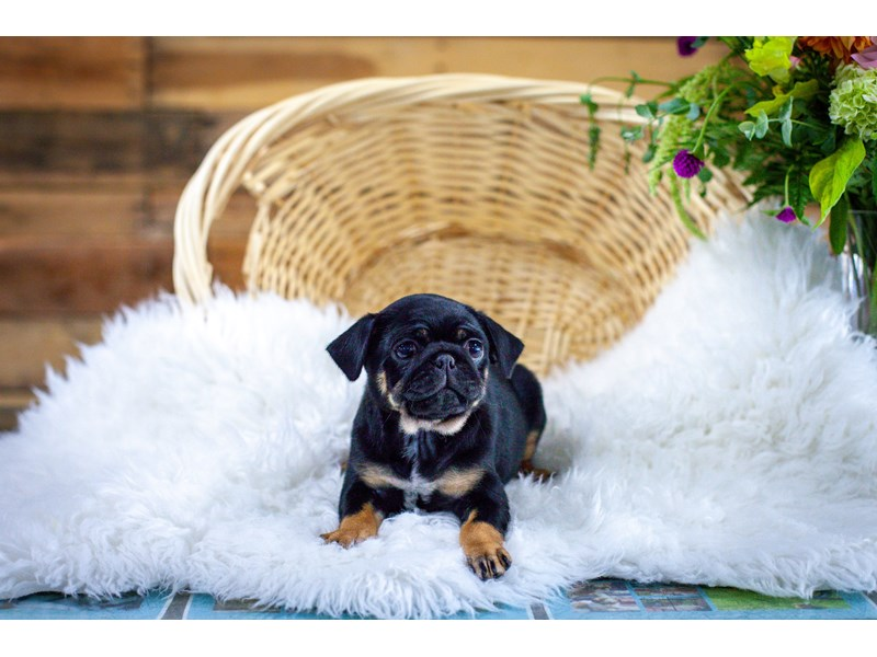 Pug-Female-Black / Tan-2784961-The Barking Boutique