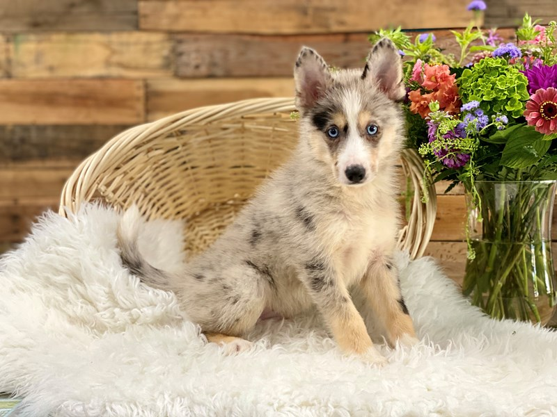 Pomsky-Male-blue merle-2788878-The Barking Boutique