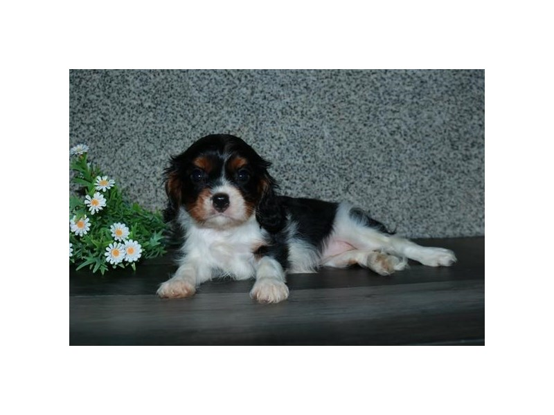 Cavalier King Charles Spaniel-Female-Black Tan / White-2791640-The Barking Boutique