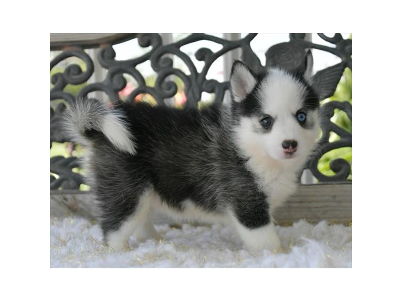 Pomsky-Female-Gray / White-2791642-The Barking Boutique