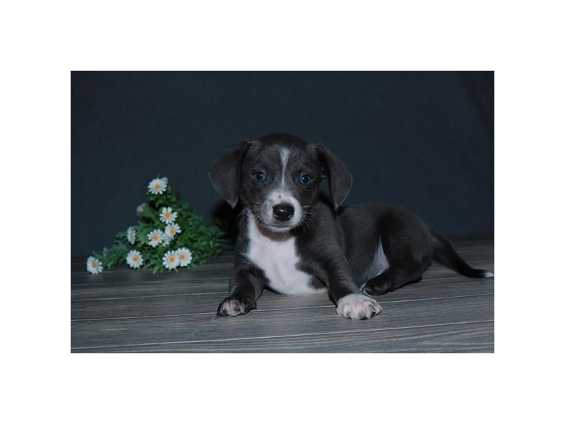Chiweenie-Male-Gray / White-2791643-The Barking Boutique
