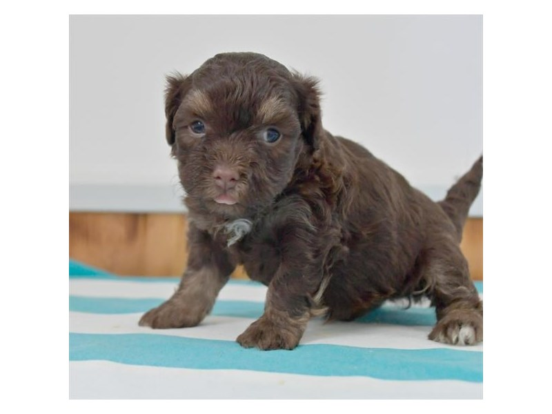 Havanese-Male-Chocolate-2791646-The Barking Boutique