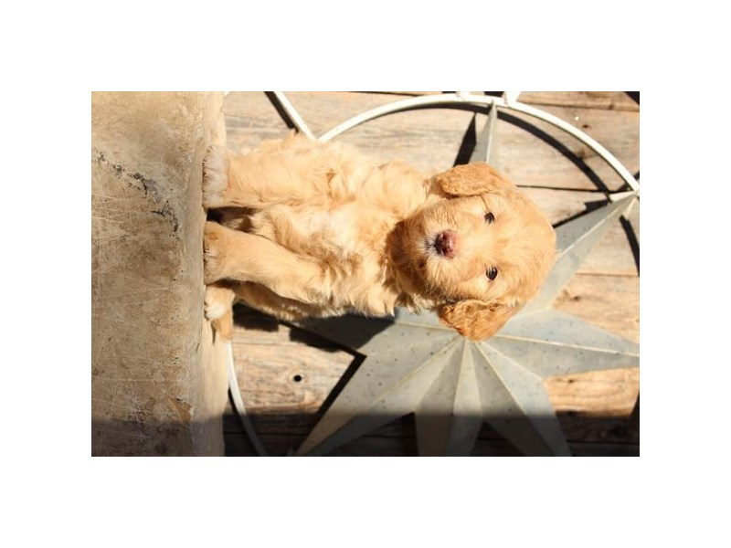 Mini Goldendoodle-Female-Buff-2791660-The Barking Boutique