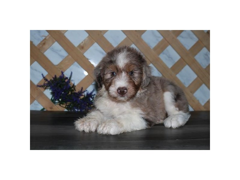 Aussiepoo-Female-Red Merle-2791661-The Barking Boutique
