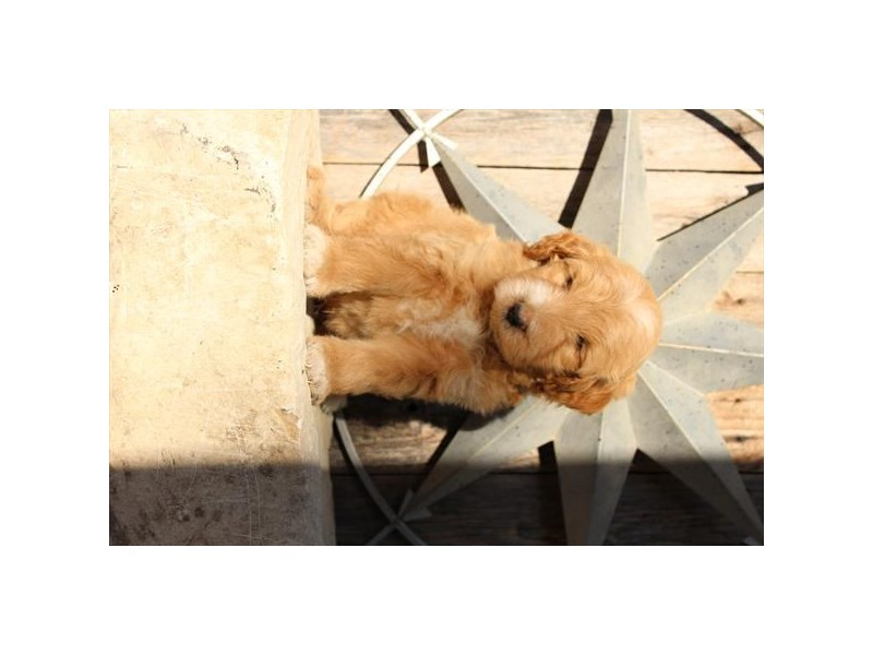 Mini Goldendoodle-Male-Tan-2791662-The Barking Boutique