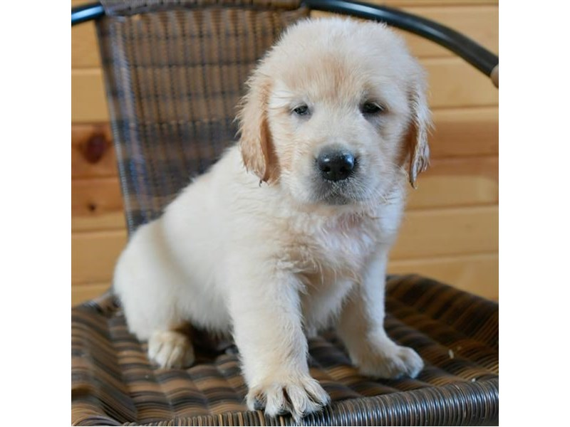 Golden Retriever-Male-Light Golden-2791663-The Barking Boutique