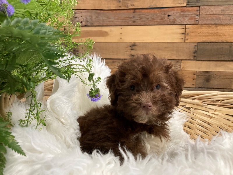 Havanese-Female-Chocolate-2791664-The Barking Boutique