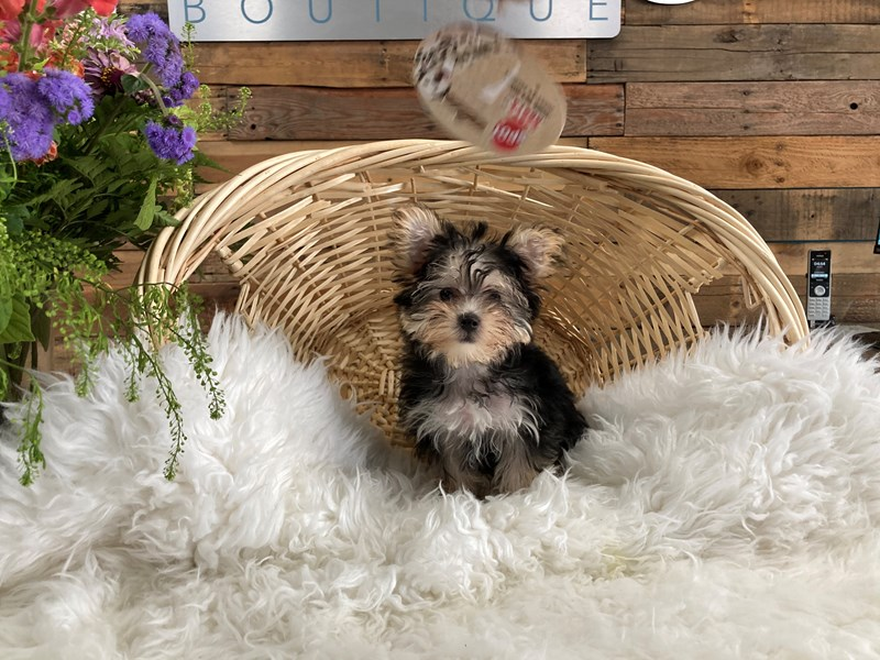Morkie-Female-Black / Tan-2791659-The Barking Boutique