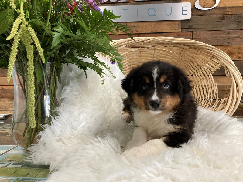 Miniature American Shepherd-Male-Black-2791647-The Barking Boutique