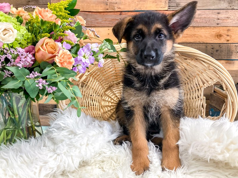 German Shepherd-Female-Black and Tan-2796417-The Barking Boutique