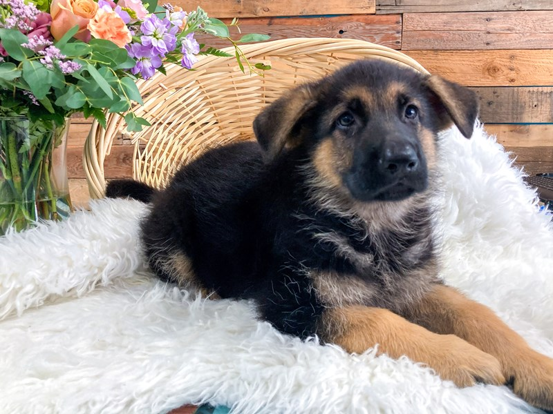 German Shepherd-Female-Black and Tan-2796435-The Barking Boutique