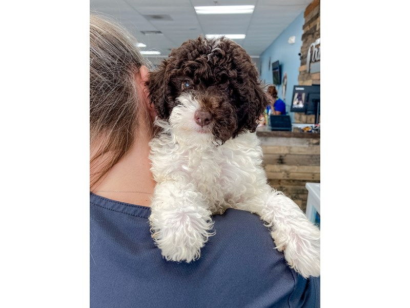 F1B Mini Labradoodle-Female-Chocolate and White-2796309-The Barking Boutique