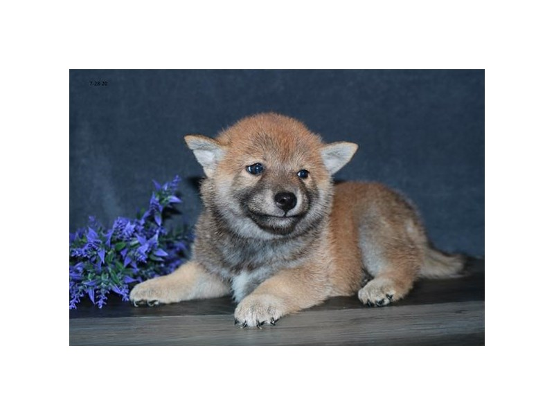 Shiba Inu-Female-Red-2798988-The Barking Boutique