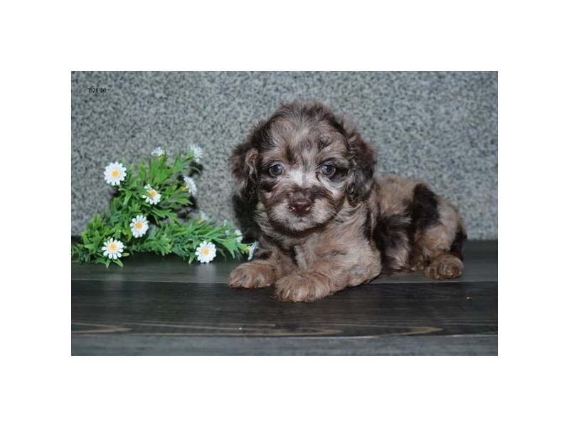 Cock A Poo 2nd Gen-Female-Chocolate Merle-2798989-The Barking Boutique