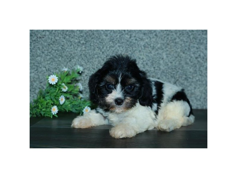 Cavachon-Female-Black Tan / White-2798992-The Barking Boutique