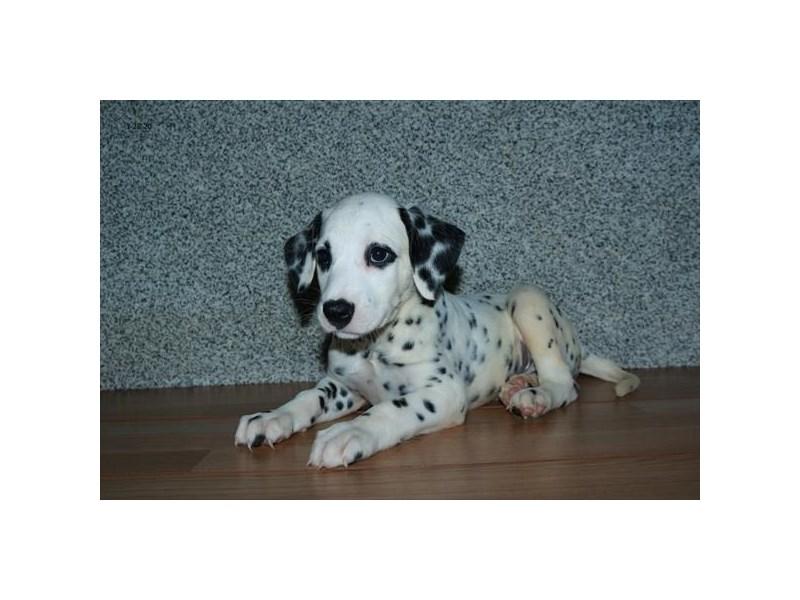 Dalmatian-Male-White / Black-2798993-The Barking Boutique