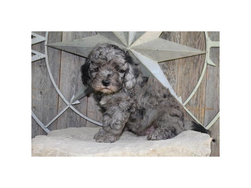 F1B Mini Goldendoodle-Male-Blue Merle-2799005-The Barking Boutique