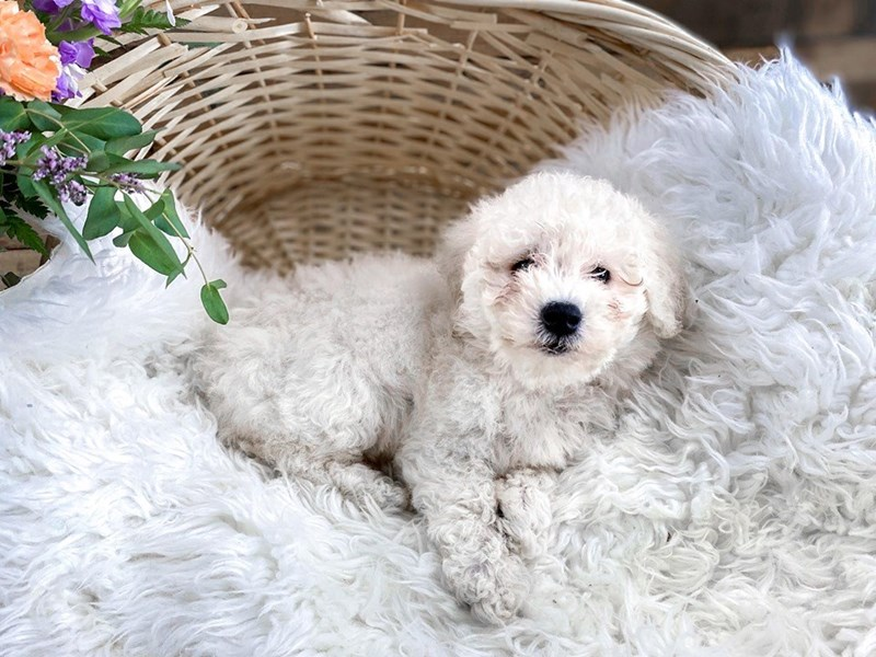 F1B Mini Goldendoodle-Female-Cream-2798984-The Barking Boutique