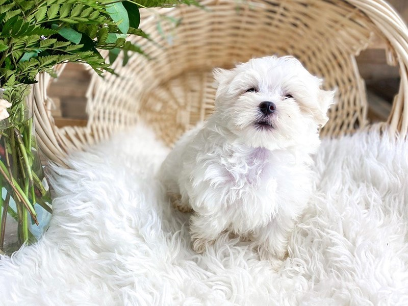 Maltese-Male-White-2798982-The Barking Boutique