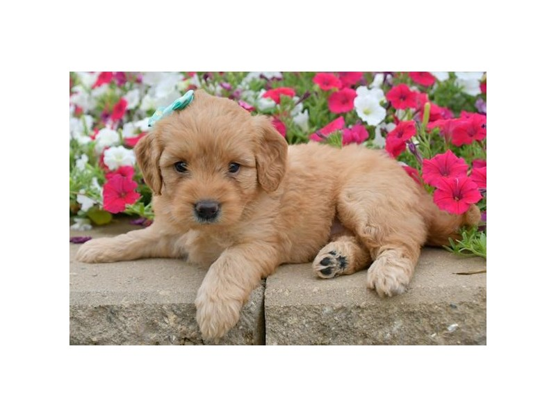Goldendoodle Mini-Female-Red-2806038-The Barking Boutique