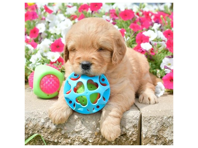 Goldendoodle Mini-Male-Red-2806040-The Barking Boutique