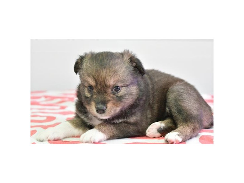 Mini Aussie/Alaskan Klee Kai-Female-Black / White-2806043-The Barking Boutique