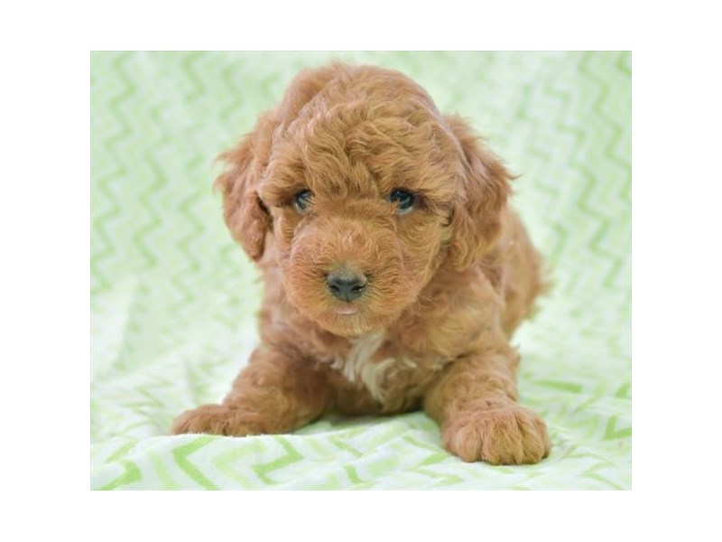 Poodle-Male-Red-2806046-The Barking Boutique