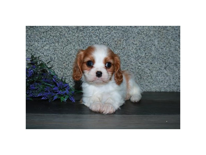 Cavalier King Charles Spaniel-Female-Blenheim-2806048-The Barking Boutique