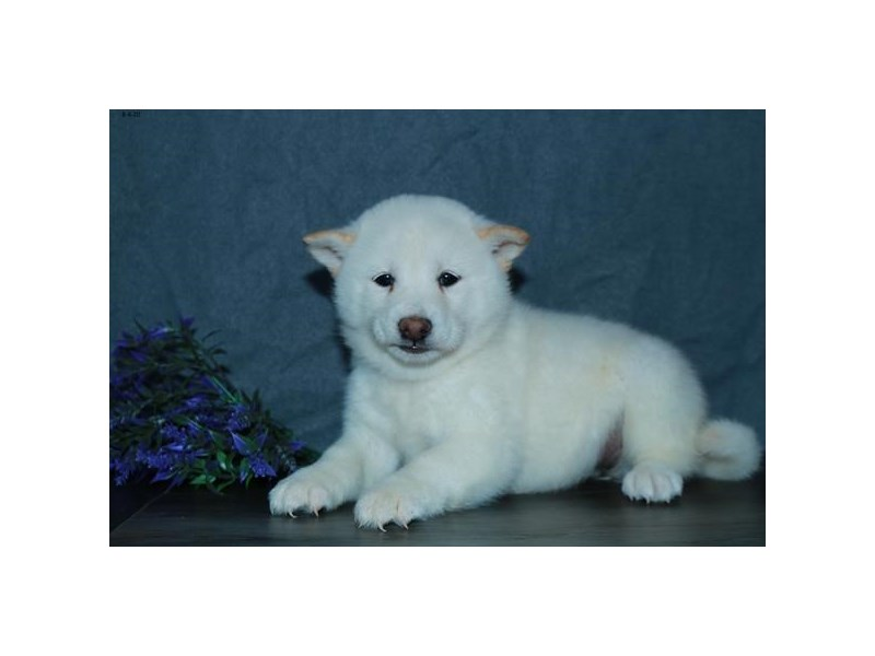 Shiba Inu-Female-Cream-2806049-The Barking Boutique