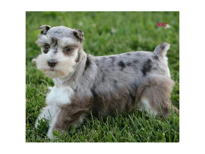 Miniature Schnauzer-Female-Chocolate Merle-2806093-The Barking Boutique