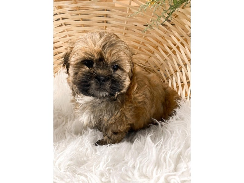 Shih Tzu-Female-Brindle and White-2810826-The Barking Boutique