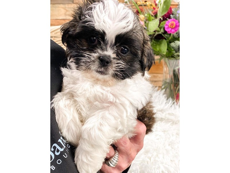 Shih Tzu-Male-Brindle and White-2810811-The Barking Boutique