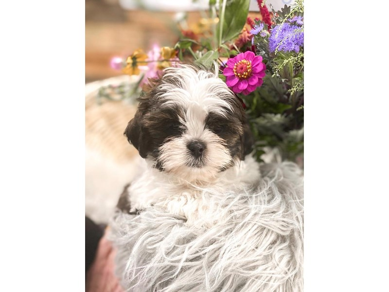 Shih Tzu-Male-Brindle and White-2810806-The Barking Boutique