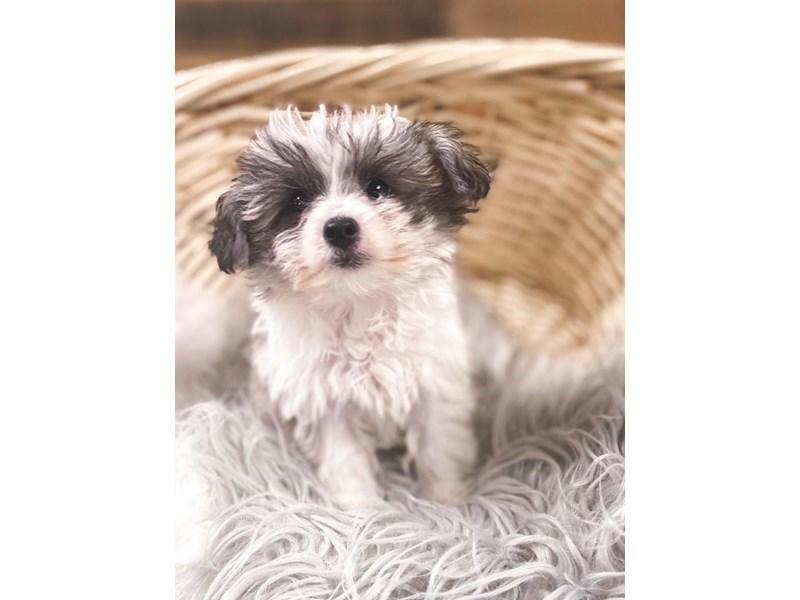Mini Huskypoo – Mrs. Puff