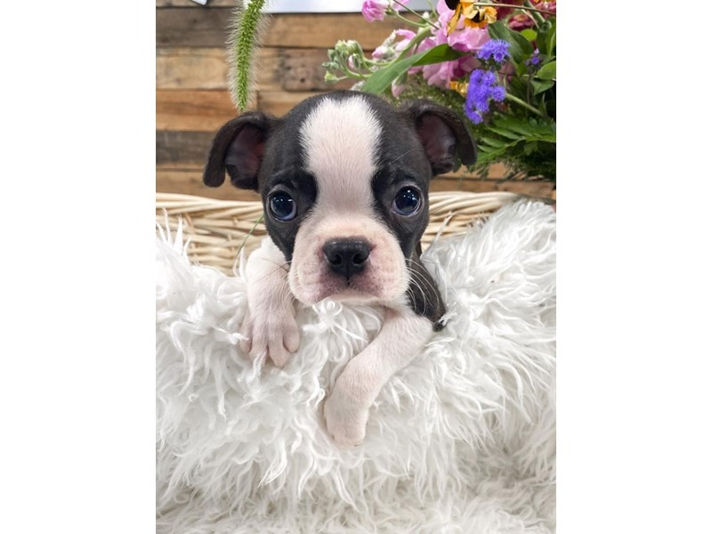 Boston Terrier – Squilliam Fancyson