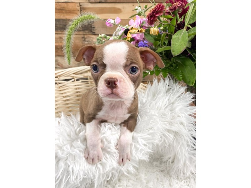 Boston Terrier-Male--2810438-The Barking Boutique